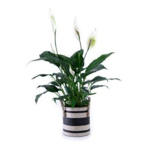 Spaths, (AKA Peace Lily)